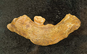 A fragment of the jaw bone of an Azykhantrope