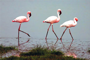 Flamingoes in Gizilagach nature reserve