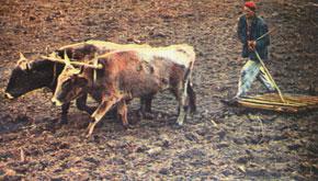Karabakh man ploughs the land
