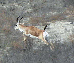 Cheyran - Caucasian gazelle in Shirvan National Park