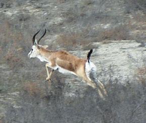 Cheyran - Caucasian gazelle in Shirvan National Park