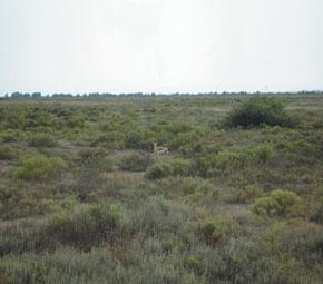 A Caucasian gazelle is having a sit-downt