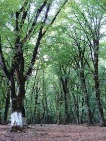 Qabala forest