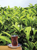Tea-growing in Azerbaijan: The Present and Prospects