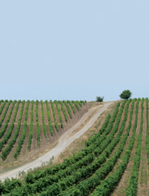 Vineyards at Hajihatamli