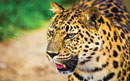 Campaign to Save the Caucasus Leopard