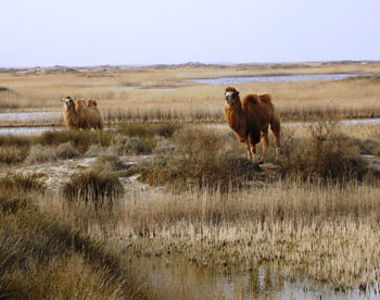 A couple of Bactrian camels living in Absheron National Park