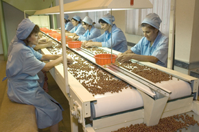 Nut processing factory