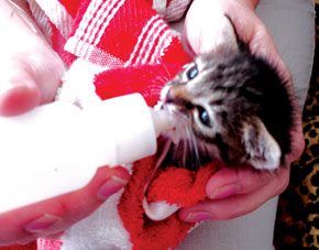 An orphaned kitten at Mensura's receiving special care