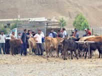 Preparing for Winter: A Day in the Life of Dashkesan's Dairy Farmers
