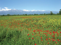 Poppy field, Qabala