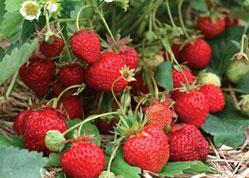 … before sweet strawberries