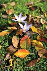 Saffron flowers in Ismayilli