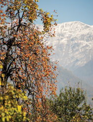 I had just got off the bus in Balakan (north-west Azerbaijan) when I saw this view of persimmons against the backdrop of the Caucasus