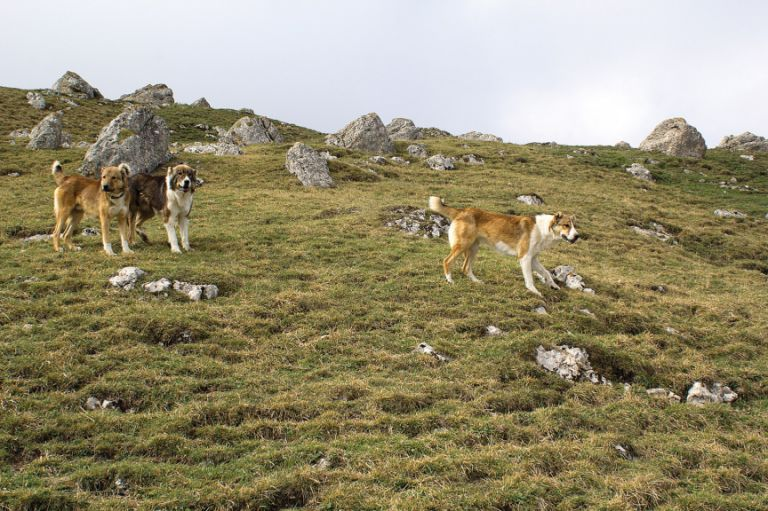 Caucasian sheep dogs encountered during the hike