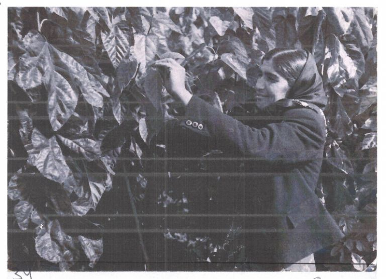 A collective farm worker in Aghdam picks mulberry leaves to feed the silkworm